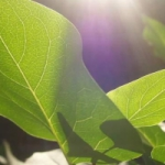 Фотосинтез. Тайна накопления солнечной энергии в живом зелёном листе.