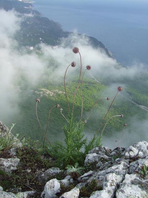 Горное растение