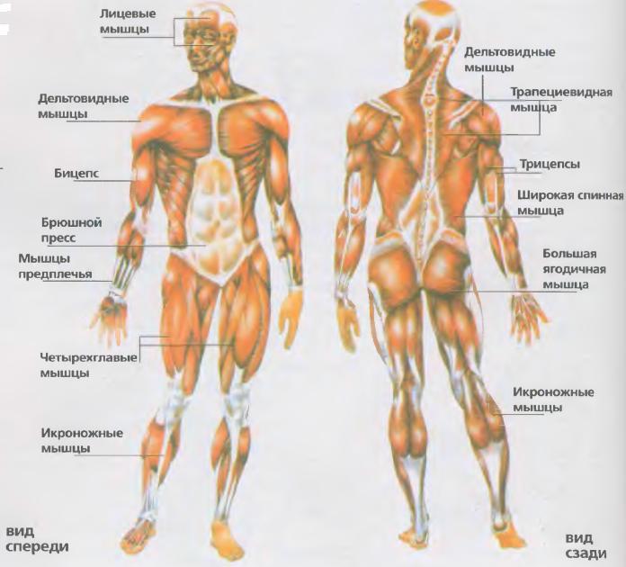 Важные мышцы человека