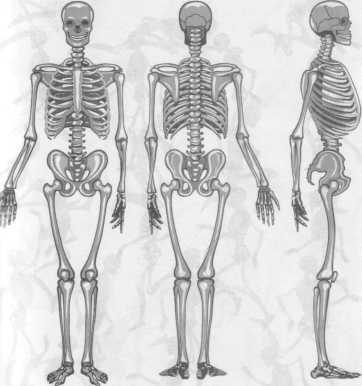 скелет человека спереди и сзади