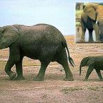 Какое сухопутное млекопитающее самое большое?