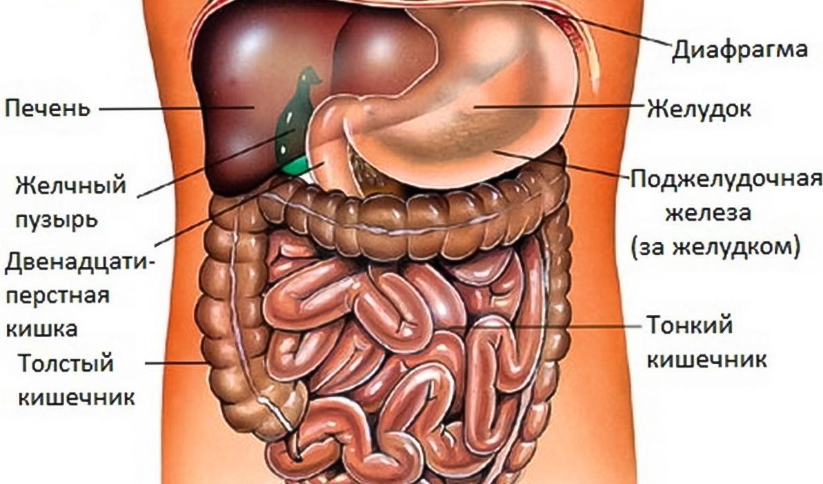 внутренние органы человека фото
