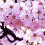 Япония – страна цветущей вишни