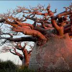 Травы, акации и баобабы