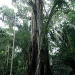 Сухие редколесья из деревьев рода Combretum