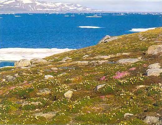 Арктическая тундра летом