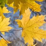 Почему желтеют листья?