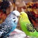 Сколько живет попугай?