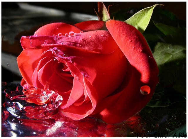 Как сохранить розы?