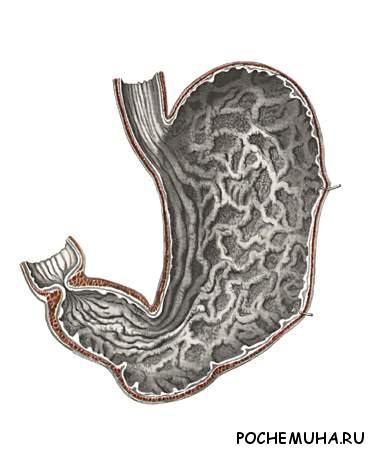Почему кислоты в желудке не разъедают его?