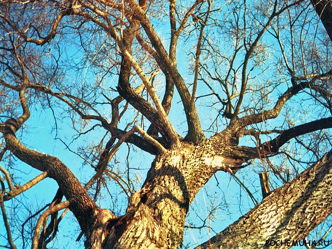 запасаются самые старые деревья подмосковья правило