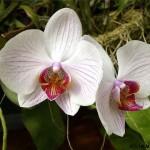 Как ухаживать за орхидеей фаленопсис?
