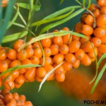 Облепиха – уникальное целебное растение