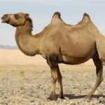 Зачем верблюду два горба?