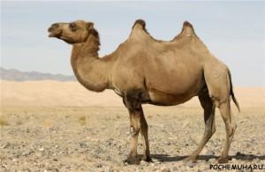 Зачем верблюду два горба