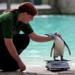 Интересные факты из жизни пингвинов