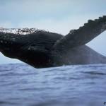 Что мы знаем о китах?