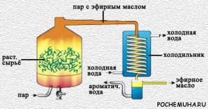 Как получают эфирные масла