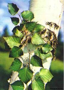 Лечимся натуральным березовый лист против разных недугов