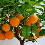 Как вырастить мандарин из косточки?