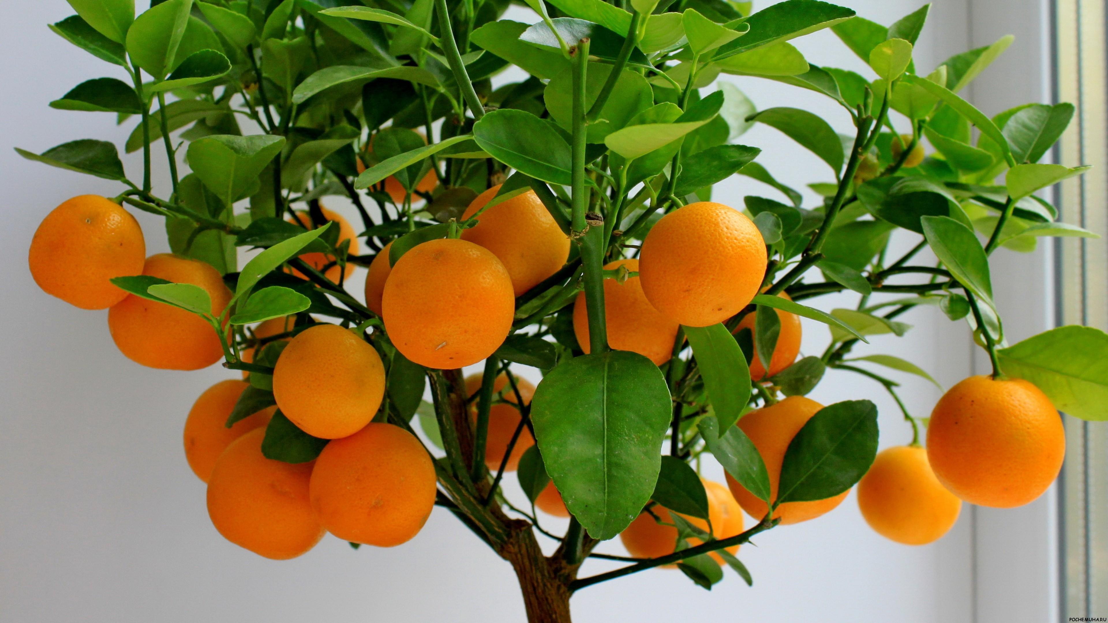 Как вырастить мандарин из косточки в домашних условиях с плодами