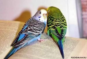 Как ухаживать за волнистым попугайчиком?