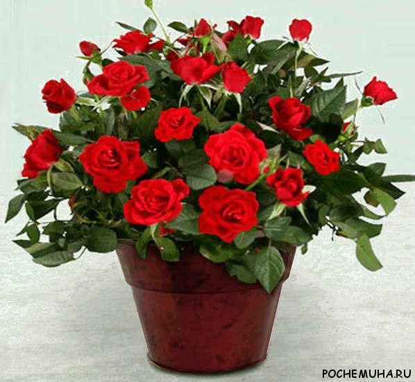Вырастить герберу из цветка