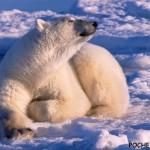 Почему белый медведь не мерзнет?