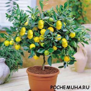 Лимон у вас дома