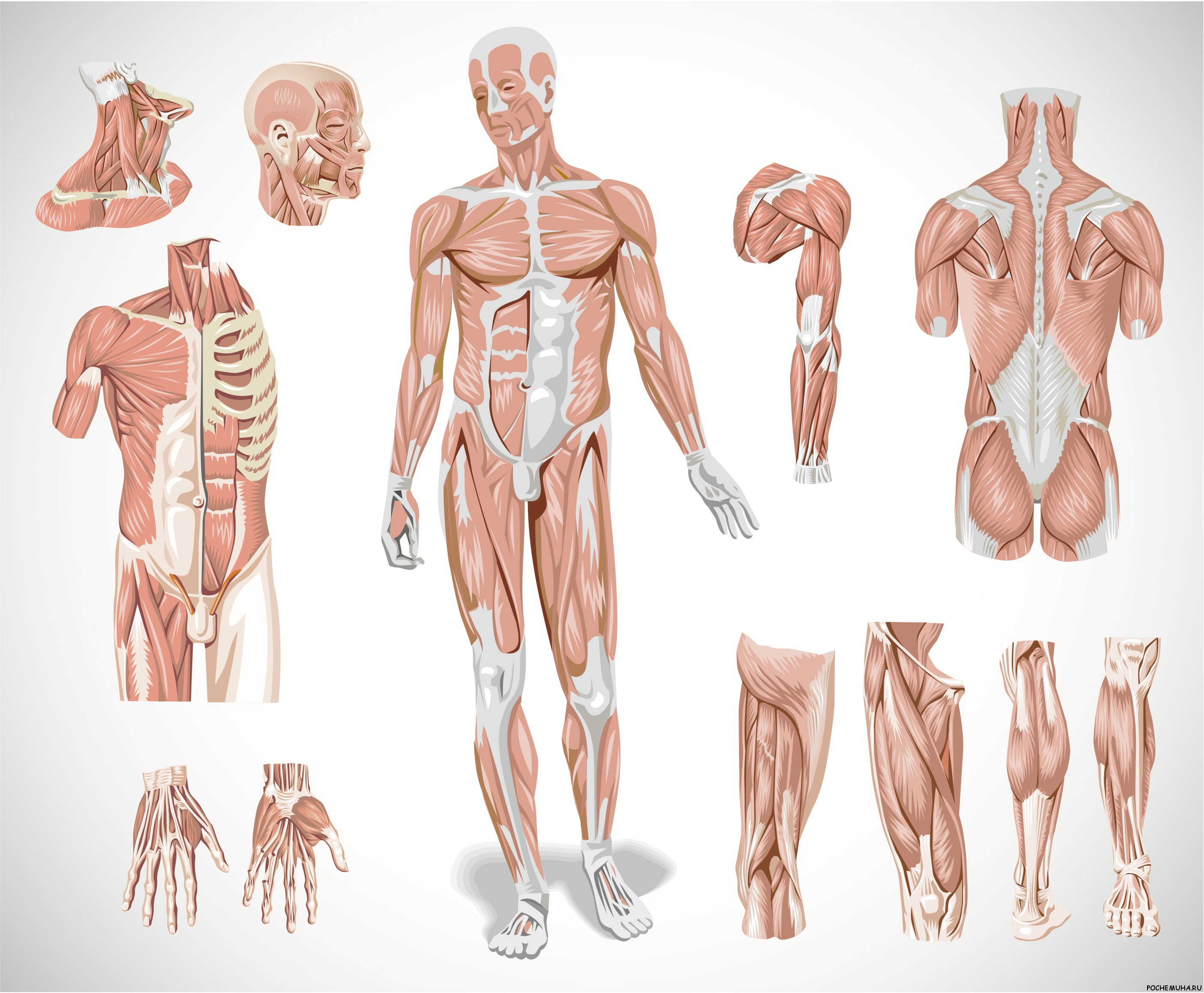 Human functional anatomy