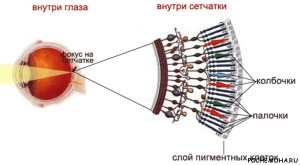 fotoretseptori-na-kartinkah-4