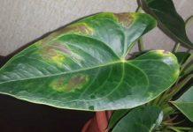 Почему появляются пятна на листьях антуриума?