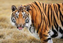 Почему тигр имеет яркую оранжевую окраску?