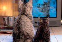 Почему кот смотрит телевизор: основные причины.